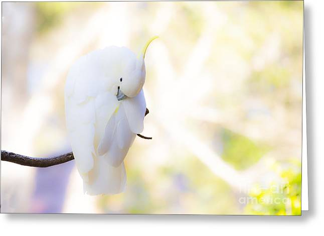 Pastel Cockatoo Greeting Card by Avalon Fine Art Photography