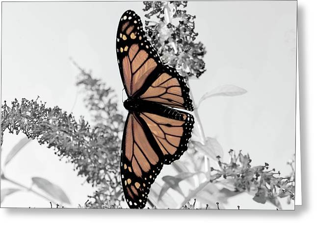 Pastel Monarch On Black And White Greeting Card