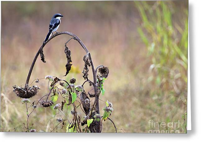 Pastoral Scene Bird On Sunflower Greeting Card