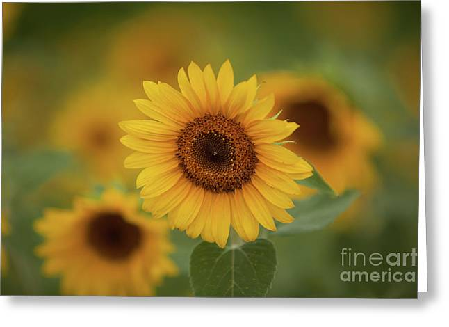 Patch Of Sunflowers Greeting Card