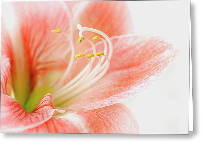 Peach Amaryllis Greeting Card by Jacky Parker