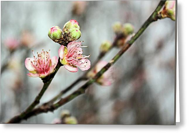 Peach Blossom Greeting Card by Kristin Elmquist