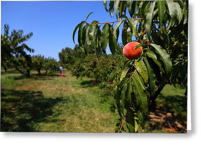 Peach Grove Greeting Card