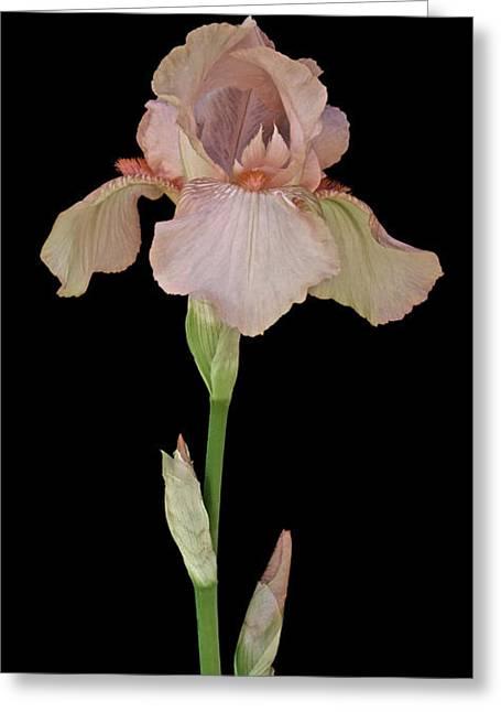 Peach Iris Greeting Card by Michael Peychich