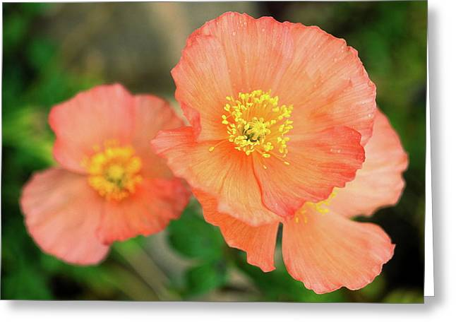 Greeting Card featuring the photograph Peach Poppies by Sally Weigand