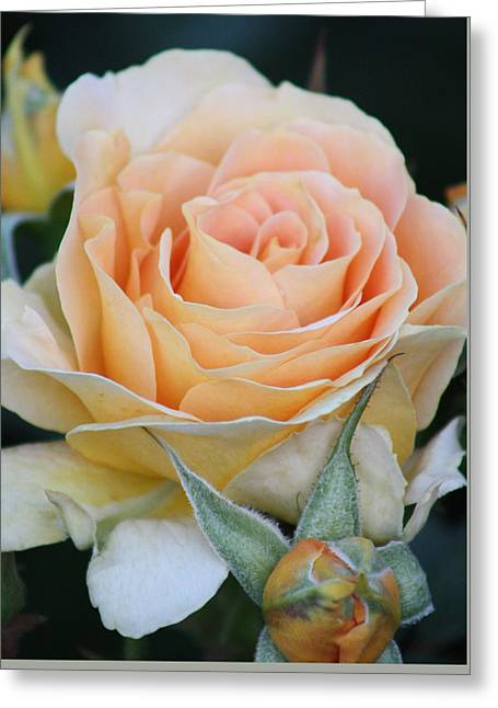 Peach Rose 2 Greeting Card