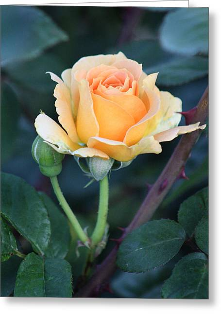 Peach Rose 3 Greeting Card