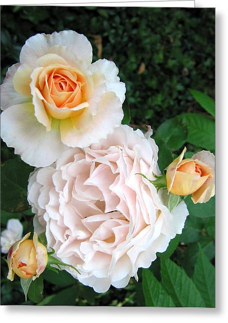 Peach Tamora Roses Greeting Card by Janice Paige Chow