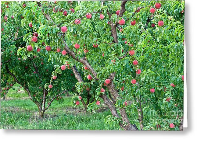 Peach Trees White Lady Greeting Card by Inga Spence