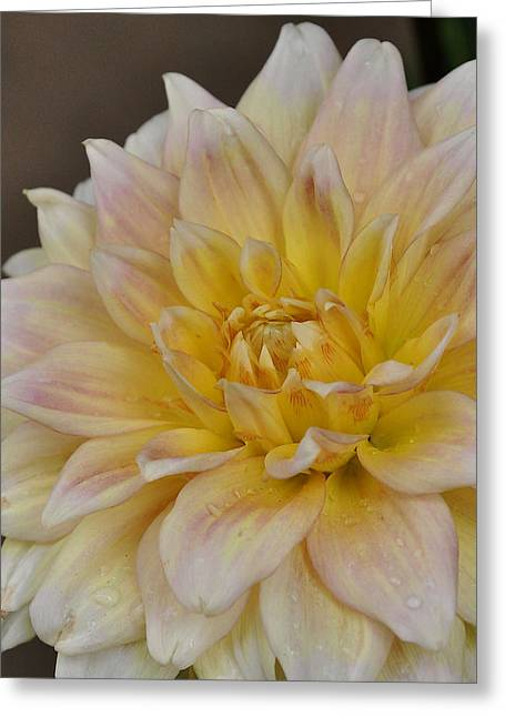 Peaches And Cream Dahlia Greeting Card