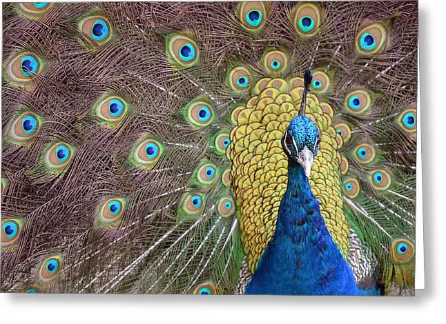 Peacock Display II Greeting Card