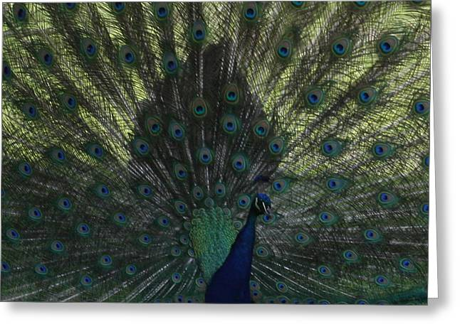 Peacock Eyes Greeting Card by Michelle Miron-Rebbe
