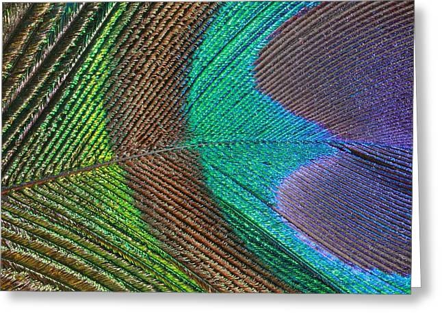 Peacock Feather Close Up Greeting Card
