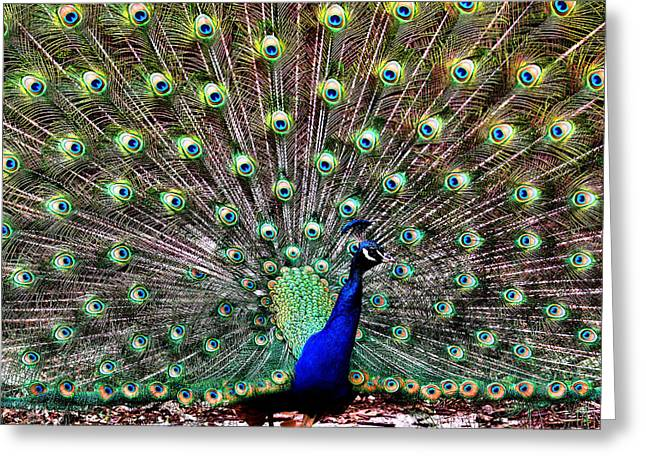 Peacock Feathers Greeting Card by Karen M Scovill