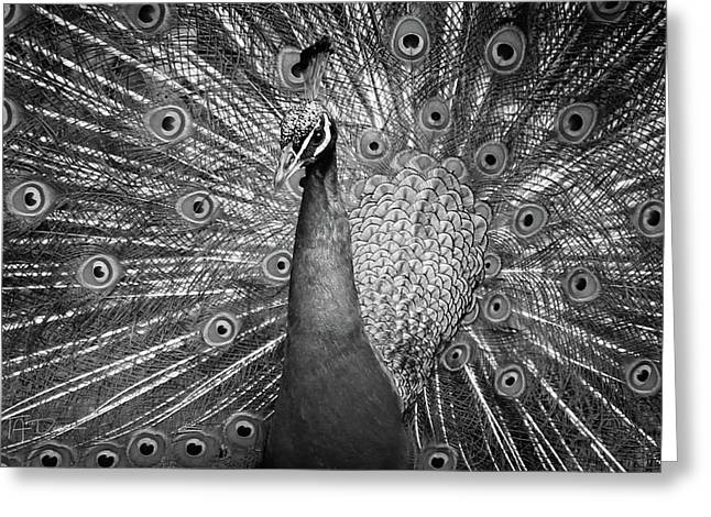 Peacock In Black And White Greeting Card