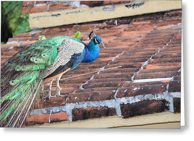 Peacock On Rooftop Greeting Card