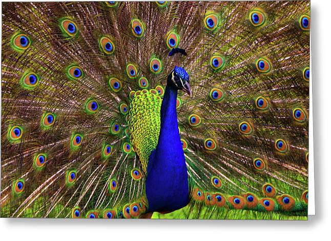 Greeting Card featuring the photograph Peacock Showing Breeding Plumage In Jupiter, Florida by Justin Kelefas