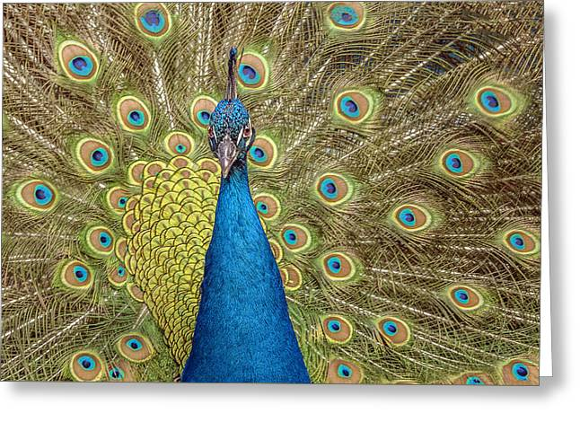 Peacock Splendor Greeting Card