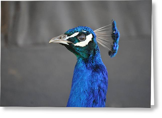Peacock Stare Down Greeting Card