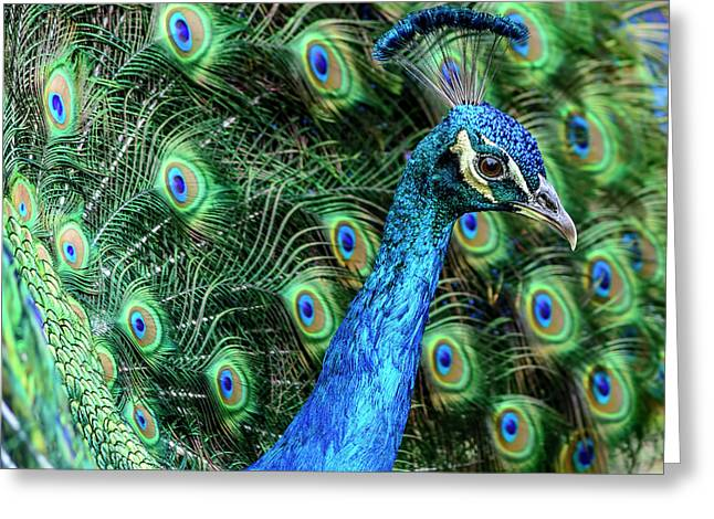 Greeting Card featuring the photograph Peacock by Steven Sparks