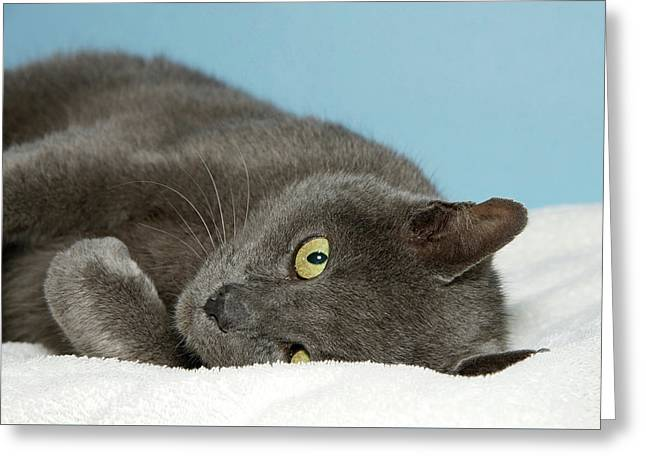 Peak A Boo Gray Chartreux Cat Greeting Card