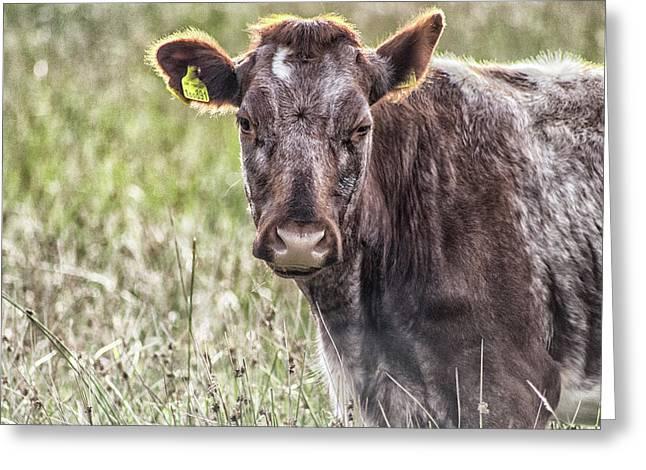 Peak District Cattle Greeting Card