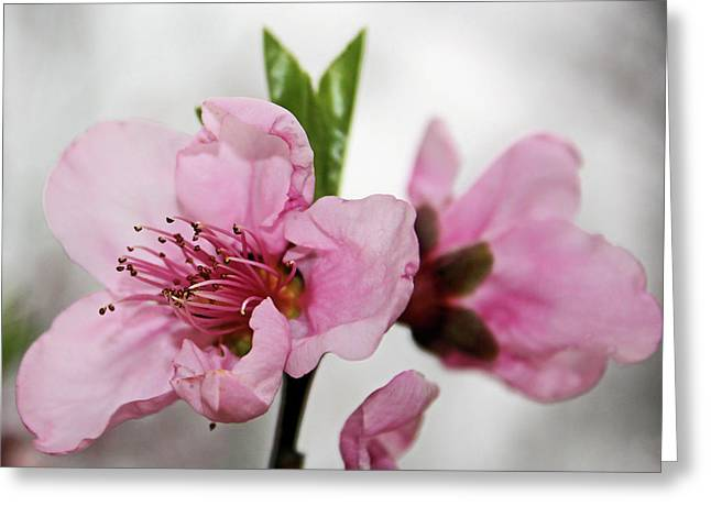 Plum Blossom Greeting Card by Kristin Elmquist