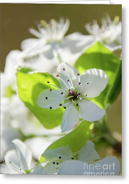 Pear Blossoms 3 Greeting Card