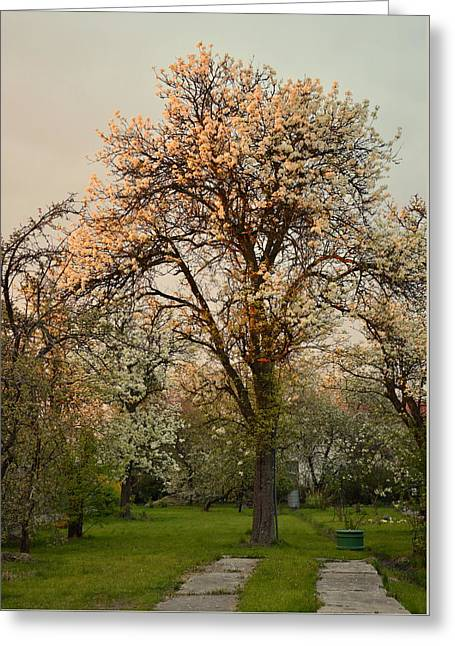 Pear Spring Sunrise Greeting Card by Henryk Gorecki