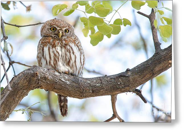 Pearl-spotted Owlet -  Chevechette Perlee - Glaucidium Perlatum   Greeting Card by Nature and Wildlife Photography