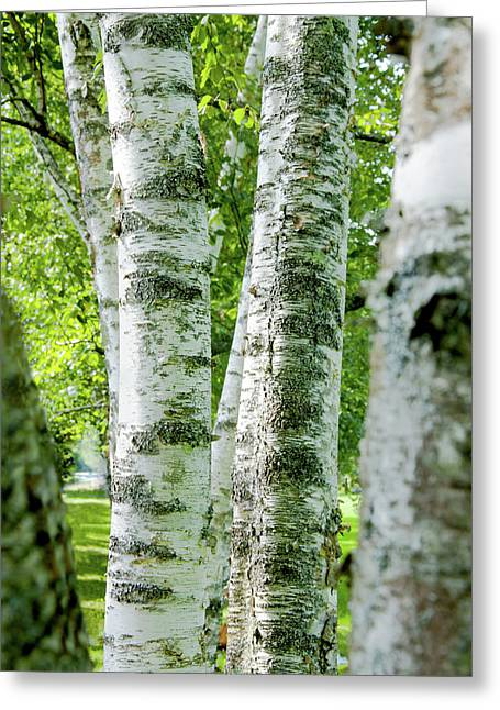 Greeting Card featuring the photograph Peek A Boo Birch by Greg Fortier