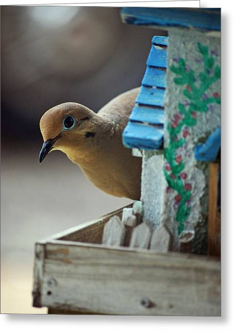 Peek A Boo Mourning Dove  Greeting Card by Michelle  BarlondSmith