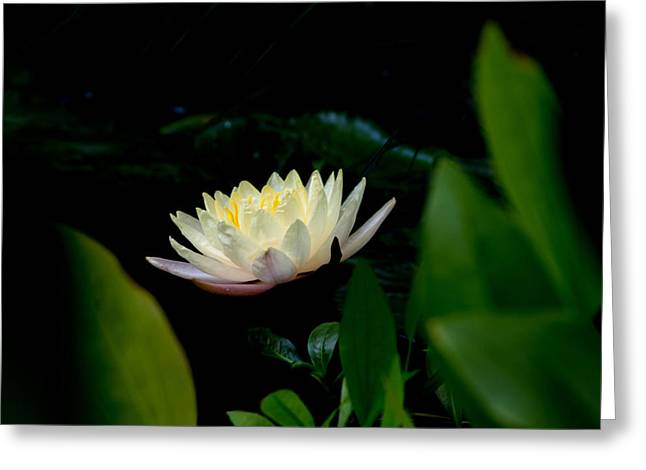 Peekaboo Lemon Water Lily Greeting Card