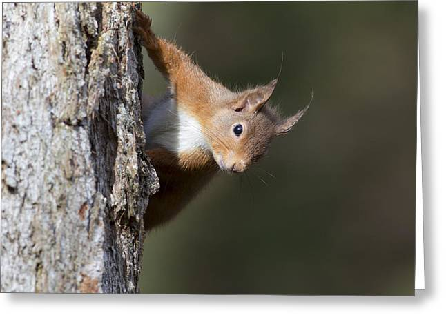 Peekaboo - Red Squirrel #29 Greeting Card