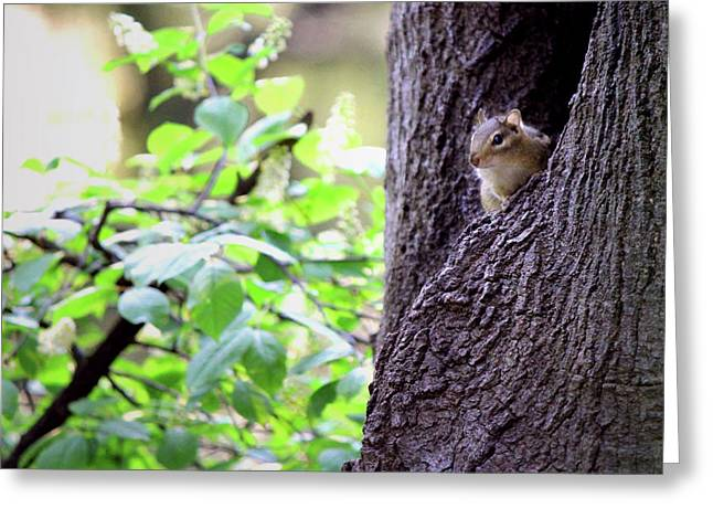 Peeking Eastern Chipmunk Greeting Card by Codee Hart