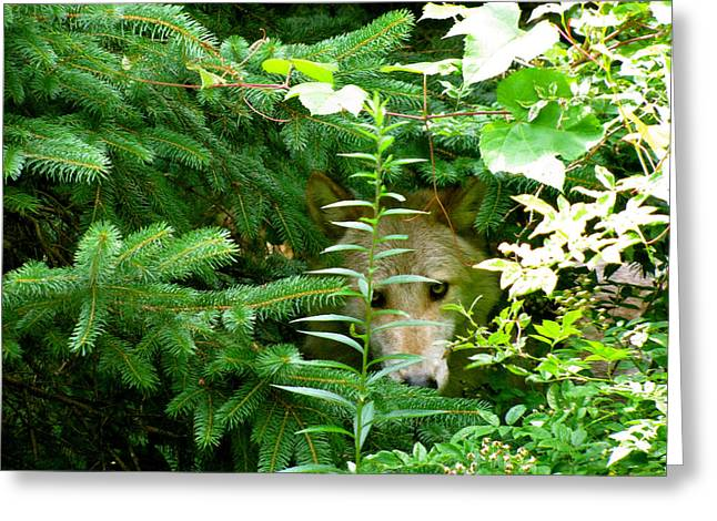 Wolf From The Forest Greeting Cards - Peeking Out Wolf Greeting Card by Debra     Vatalaro