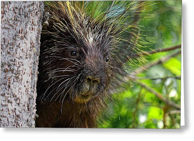 Peeking Porcupine Greeting Card