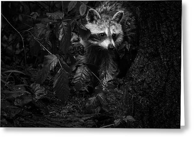 Peeking Through The Poison Ivy Mommy Raccoon Black And White Greeting Card by Mother Nature