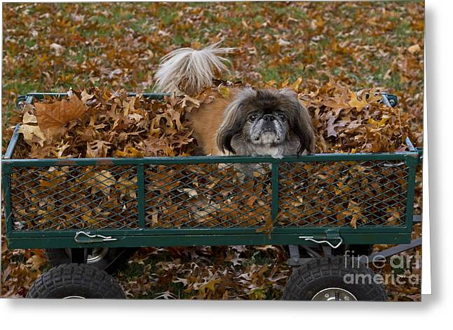 Pekingese Dog In Wagon Greeting Card by Kenneth M. Highfill