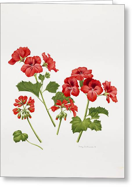 Pelargonium Geranium Greeting Card by Sally Crosthwaite