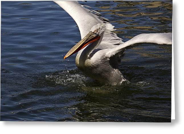 Pelican - 365-32 Greeting Card by Inge Riis McDonald