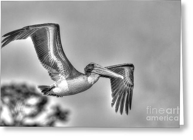 Pelican-4443 Bnw Greeting Card