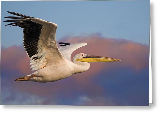 Pelican Greeting Card by Basie Van Zyl