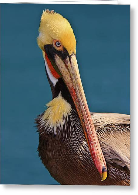 Pelican Greeting Card