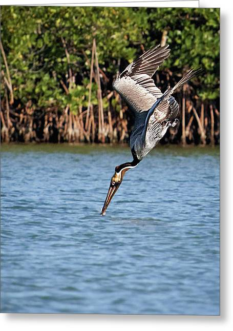 Pelican Dive Greeting Card by Dawn Currie
