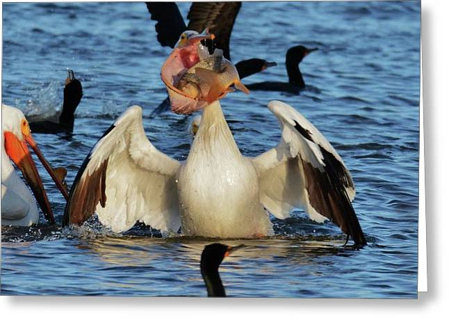 Pelican Eating Greeting Card by John Adams