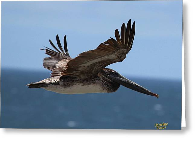 Pelican Flying Wings Up  Greeting Card