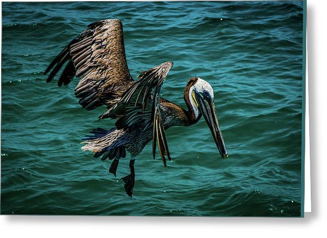 Pelican Glide Greeting Card