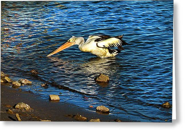 Pelican In Action Greeting Card by Susan Vineyard