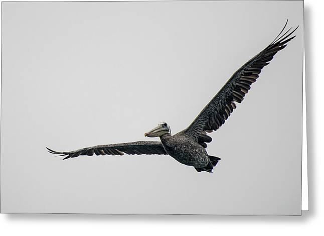 Pelican In Flight Greeting Card by Bill Mock